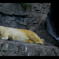 "DS7055 – Creature Series – ""White Bear dreaming on rock"" – 15mn – Full HD"